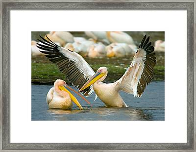 Two Great White Pelicans Wading Framed Print