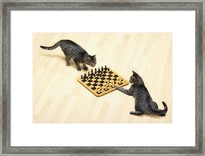 Two Grey Tabby Cats Playing Framed Print