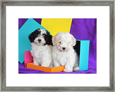 Two Havanese Puppies Sitting Together Framed Print by Zandria Muench Beraldo