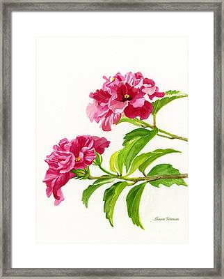 Two Hibiscus Rosa Sinensis Blossoms Framed Print by Sharon Freeman