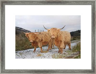 Two Highland Cows Framed Print