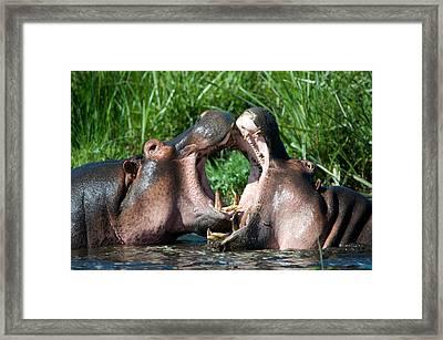 Two Hippopotamuses Hippopotamus Framed Print by Panoramic Images