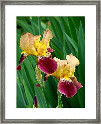 Two Iris Framed Print by Rodney Lee Williams