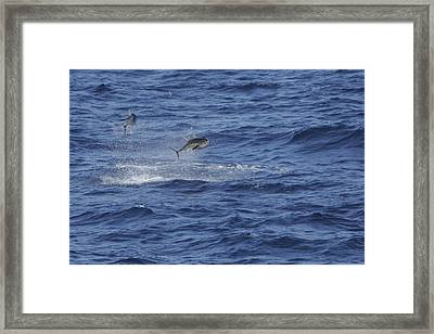 Two Jumping Yellowfin Tuna Framed Print by Bradford Martin