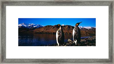 Two King Penguins Aptenodytes Framed Print by Panoramic Images