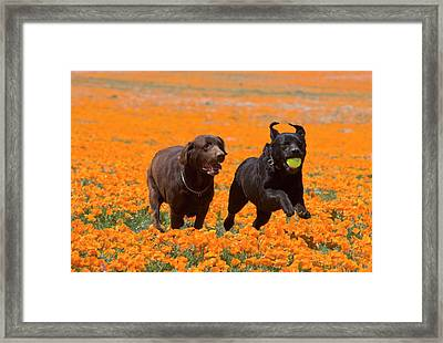 Two Labrador Retrievers Running Framed Print