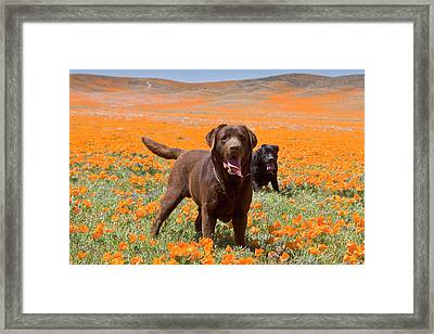Two Labrador Retrievers Standing Framed Print by Zandria Muench Beraldo