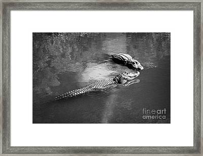 Two Large American Alligators Standing On Underwater Log Near Water Surface Florida Usa Framed Print by Joe Fox