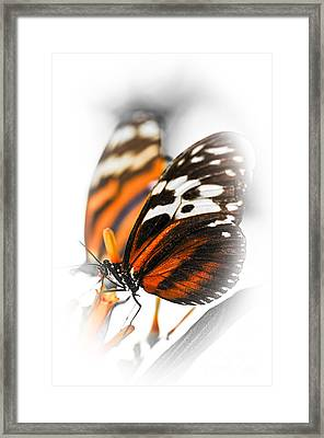 Two Large Tiger Butterflies Framed Print