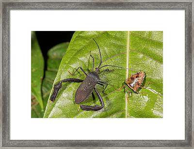 Two Leaf-footed Bugs Framed Print by Dr Morley Read