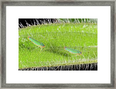 Two Leafhoppers On A Hairy Leaf Framed Print by Dr Morley Read