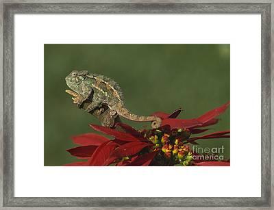 Two-lined Chameleon Framed Print
