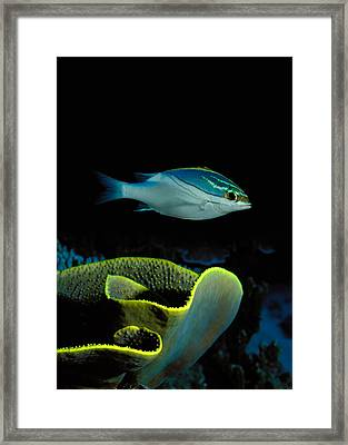 Two-lined Monocle Bream Scolopsis Framed Print by Panoramic Images
