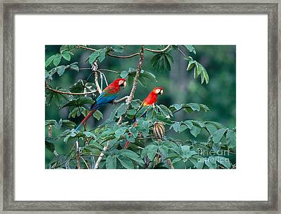 Two Macaws Framed Print by Art Wolfe