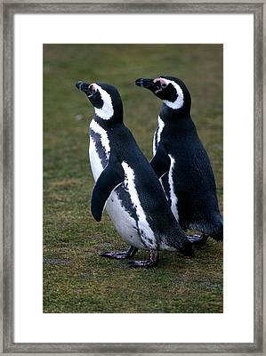 Two Magellanic Penguins, Spheniscus Framed Print