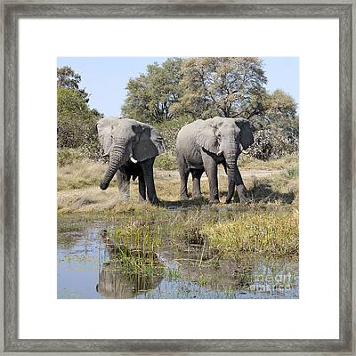 Framed Print featuring the photograph Two Male Elephants Okavango Delta by Liz Leyden