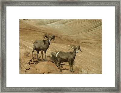 Two Male Rams At Zion Framed Print