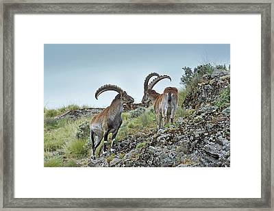 Two Male Wahlia Ibex Framed Print