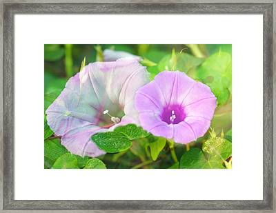 Two Morning Glories Framed Print