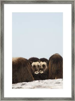 Two Muskox Calves Protected In The Framed Print