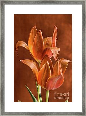 Two Orange Red Tulips Entwined Framed Print