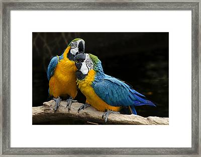Two Parrots Squawking Framed Print by Dave Dilli