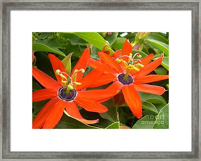 Two Passionflowers Framed Print