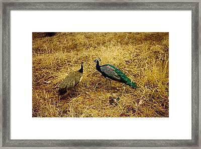 Two Peacocks Yaking Framed Print