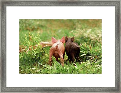 Two Piglets In The Grass Framed Print by Ktsdesign
