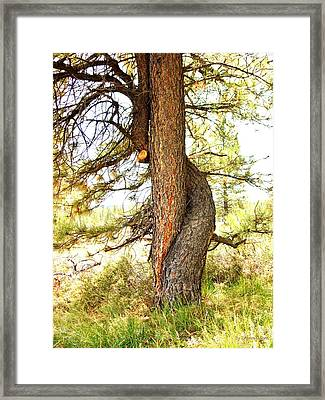 Two Pines Intertwined  Framed Print