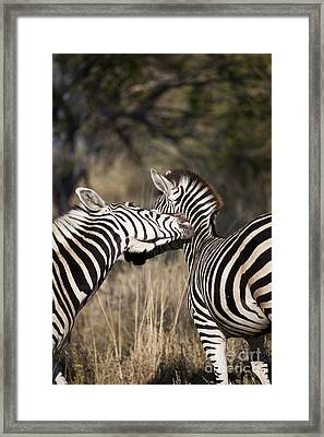 Framed Print featuring the photograph Two Plains Zebra Botswana by Liz Leyden