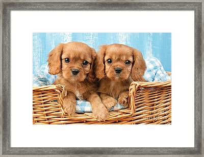 Two Puppies In Woven Basket Dp709 Framed Print by Greg Cuddiford