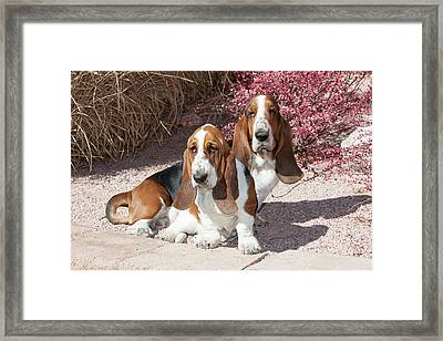 Two Purebred Bassett Hounds Sitting Framed Print by Piperanne Worcester