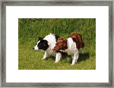 Two Purebred Border Collies, Crouched Framed Print