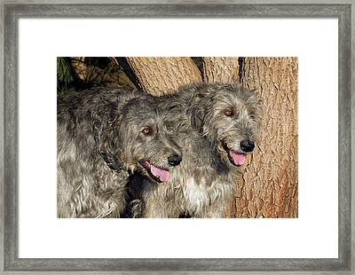 Two Purebred Irish Wolfhounds By A Tree Framed Print by Piperanne Worcester