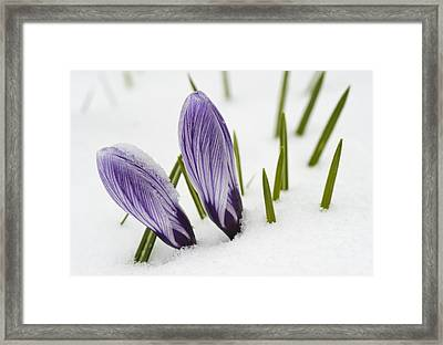 Two Purple Crocuses In Spring With Snow Framed Print