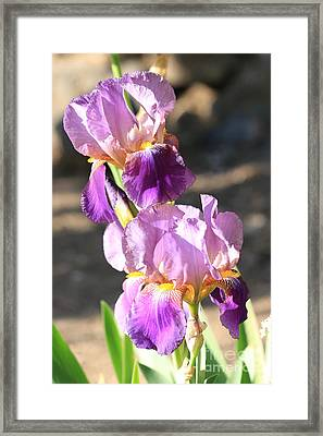 Two Purple Irises Framed Print by Carol Groenen