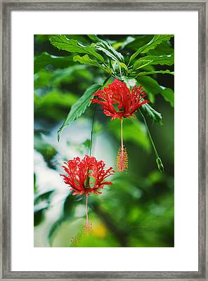 Two Red Hibiscus Framed Print by Jenny Rainbow