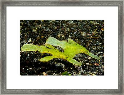 Two Robust Ghost Pipefish In Volcanic Framed Print by Steve Jones