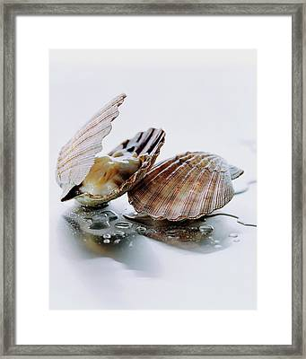 Two Scallops Framed Print by Romulo Yanes