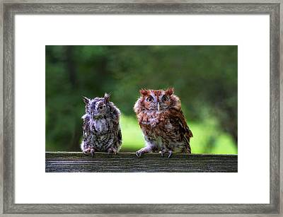 Two Screech Owls Framed Print