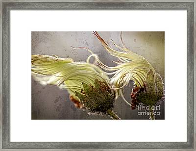 Two Seedhads Of The Wild Mountain Avens Framed Print