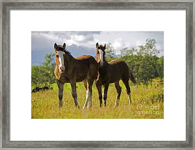 Two Shire Foals Framed Print