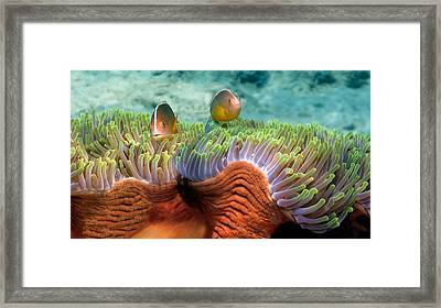 Two Skunk Anemone Fish And Indian Bulb Framed Print by Panoramic Images