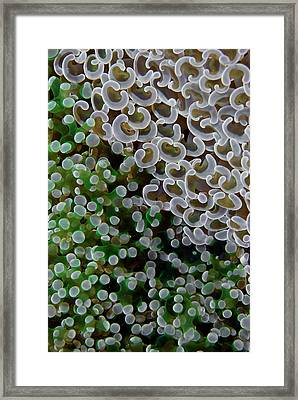 Two Species Of Fleshy Hard Corals Framed Print