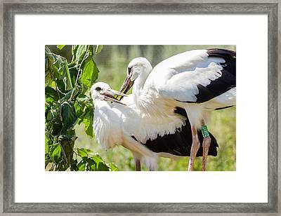 Two Storks Framed Print