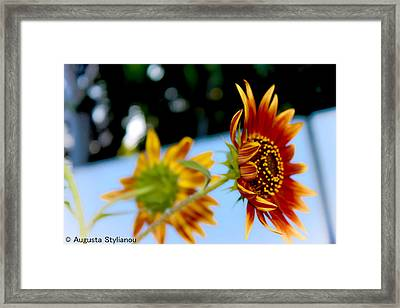 Two Sunflowers Framed Print by Augusta Stylianou