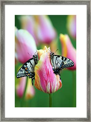 Two Swallowtail Butterflies On Tulip Framed Print