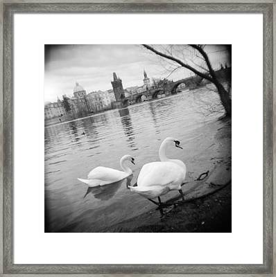 Two Swans In A River, Vltava River Framed Print