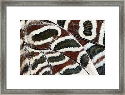 Two-tailed Pasha Butterfly Framed Print by Nigel Downer